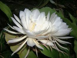 O floare care ar apare o dată la 3.000 de ani, văzută în mai multe locuri de pe glob...
